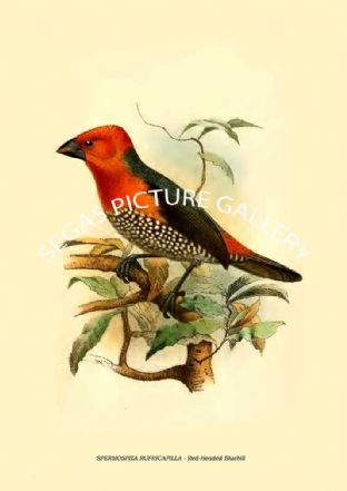 RHODOSPINGUS CRUENTUS - Crimson-Breasted Finch, RHODOSPINGUS MENTALIS - Crimson Finch-Tanager